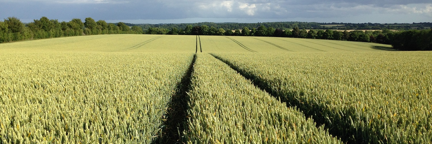 Wheat Tramlines
